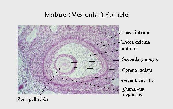 Mature graafian follicle diagram