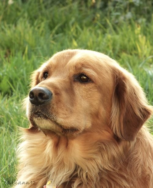 Goldens Are Such Wonderful People Golden Retriever Retriever