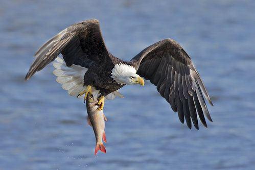 Bald Eagle Catching A Big Fish By Jun Zuo Bald Eagle Eagle Big