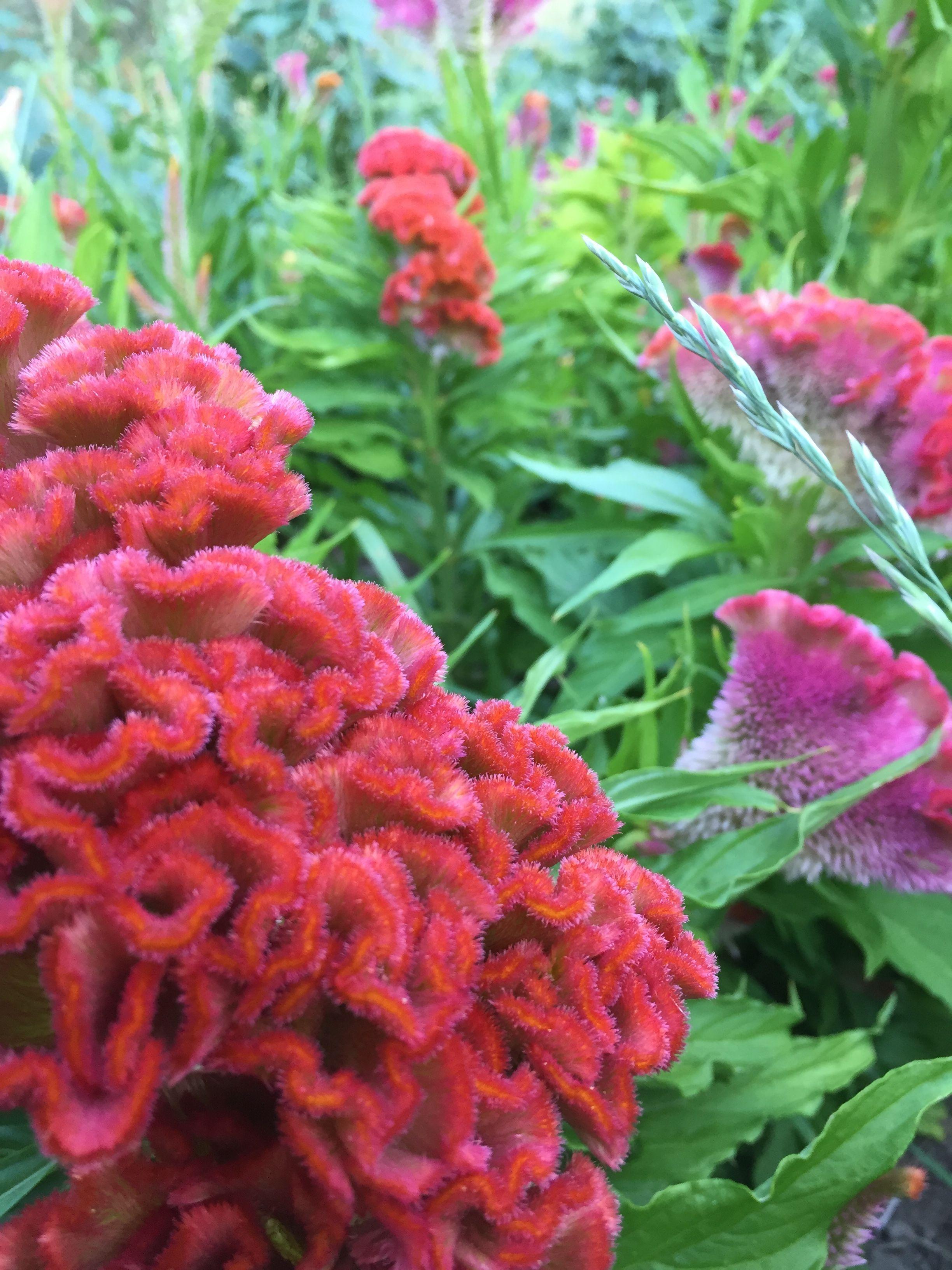 Celosia Cristata July Flowers August Flowers Everlasting Flowers