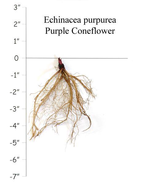 Echinacea Purpurea Purple Coneflower Echinacea Purpurea Echinacea Drought Tolerant Perennials