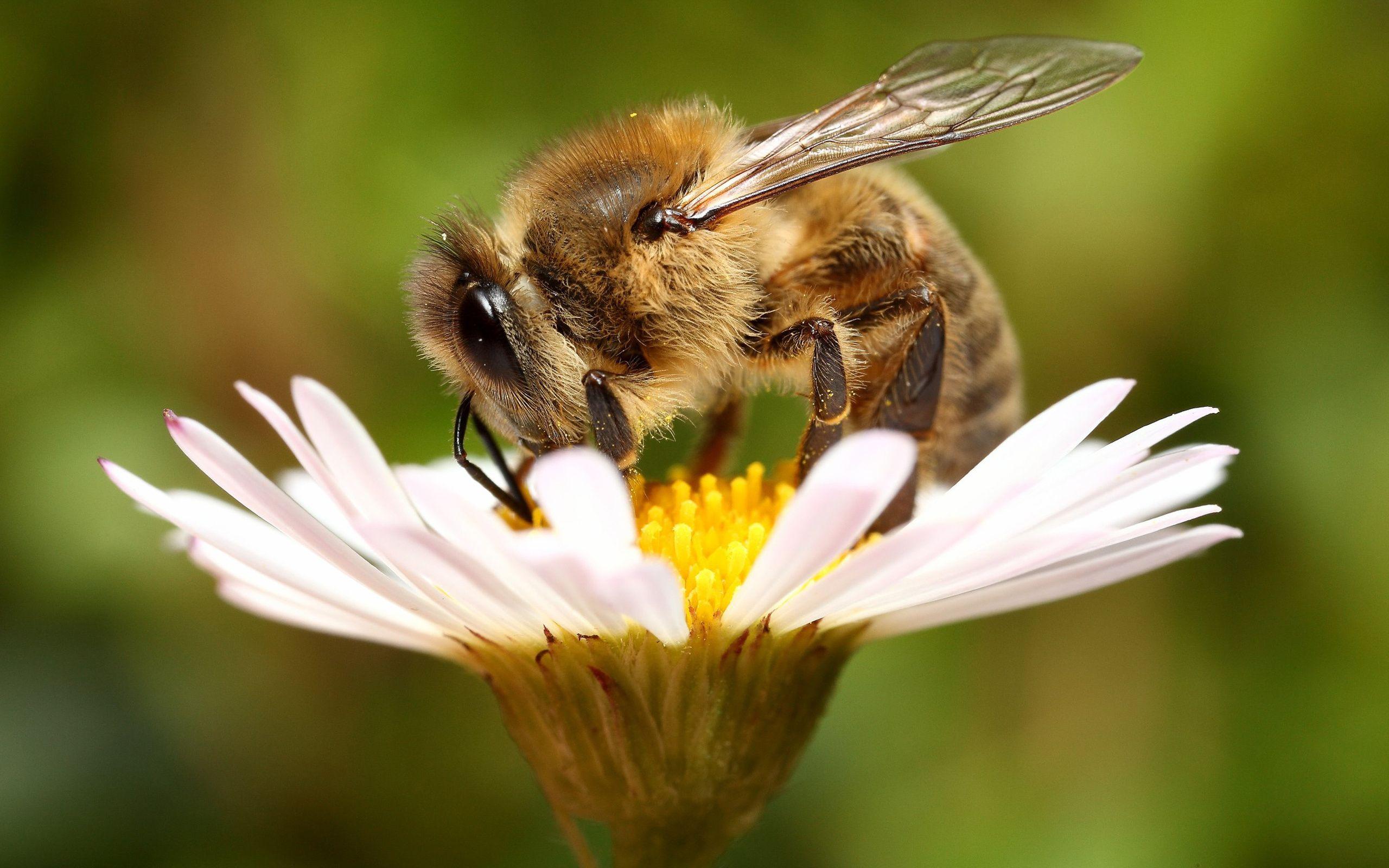 Honey Bee Desktop Wallpaper WallpaperSafari Margaridas