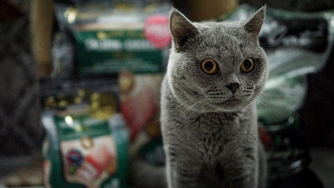 Lunch Ni Korang Makan Apa Ye Kucingliar Kl Fussiecat Fussiecatfood Britishshorthair Catfood Wetcatfood Premiumfood Kucing Kuci Cat Food Cats Animals