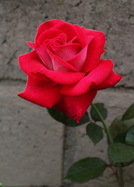 Reagan Rose 2013 Roses Pinterest Classy Romantic And Rose