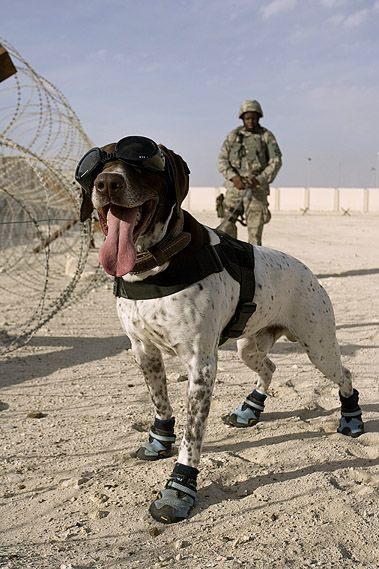 Haus, a military working dog, and his handler Air Force Staff Sergeant Zerrick Shanks perform a perimeter sweep at an undisclosed location in Southwest Asia. Air Force photo by Kevin Hubbard