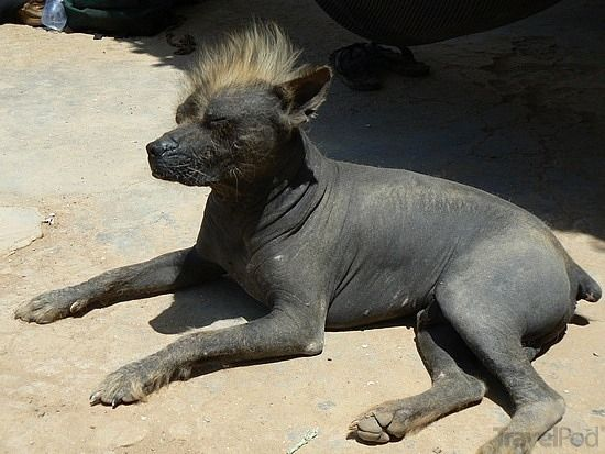 Http Images Travelpod Com Tw Slides Ta00 Bb9 088 A Quite Revolting Peruvian Hairless Dog Pisco Jpg Hairless Dog Dog Breeds Peruvian Hairless Dog