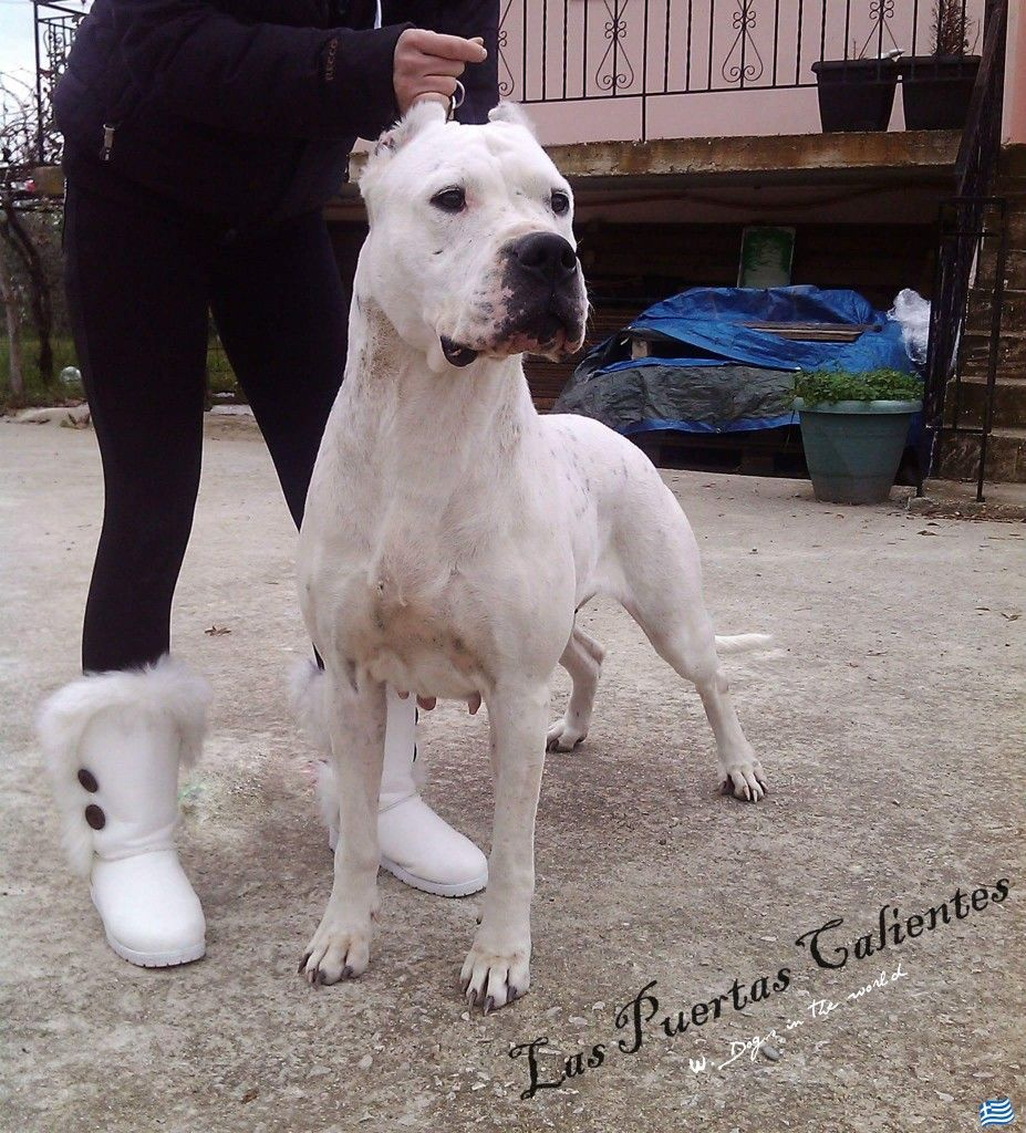 Las Puertas Calientes From Greece Dogo Argentino Dogs Pets
