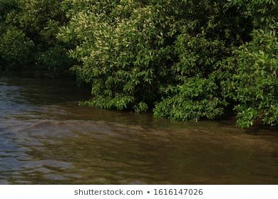 Mangrove Swamp Forest Tropical Mangrove Forest Stock Photo Edit Now 1616147026edit