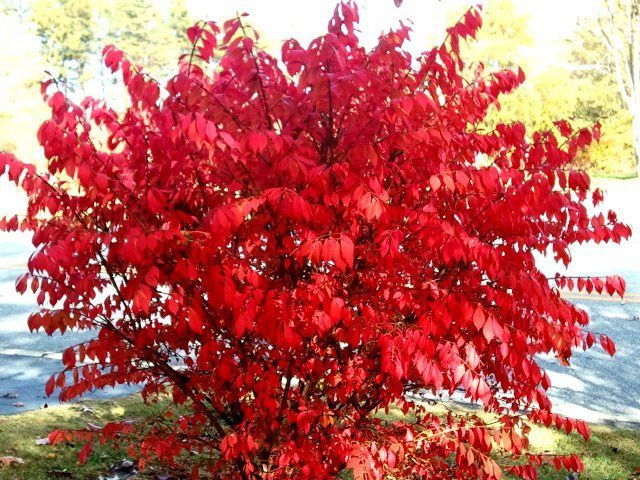 Winged Burning Bush Zone 3 Full Sun Green Foliage In Summer Brilliant Red Fall Landscaping Trees To Plant Burning Bush