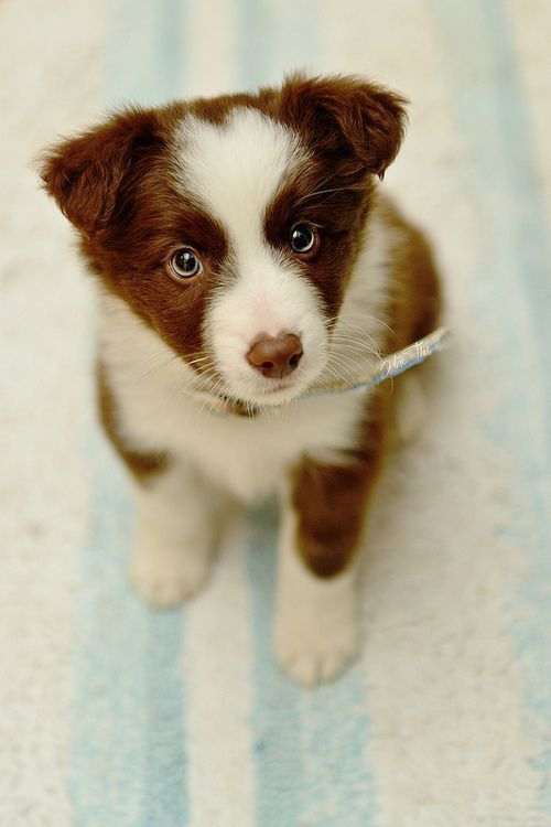brown and white border collie puppy with blue eyes