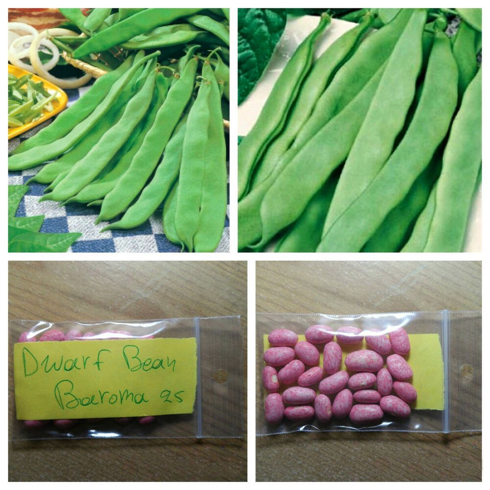 Dwarf Bean Baroma 50 Top Quality Seeds Extra Rare Bush Variety Unique In 2020 Seeds Beans Seed Starting Mix