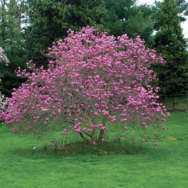 Magnolia jane tree gardens pinterest magnolia for Trees garden of jane delawney blogspot