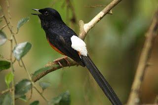 Foto Burung Murai Batu Burung Murai Hewan