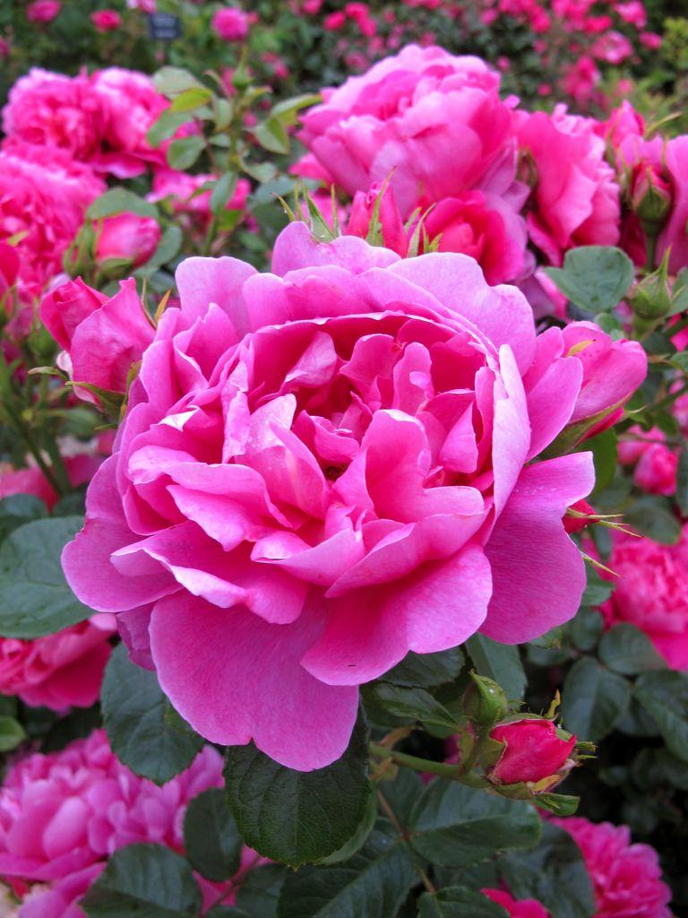 Royal Jubilee Rose English Roses Beautiful Flowers Flowers