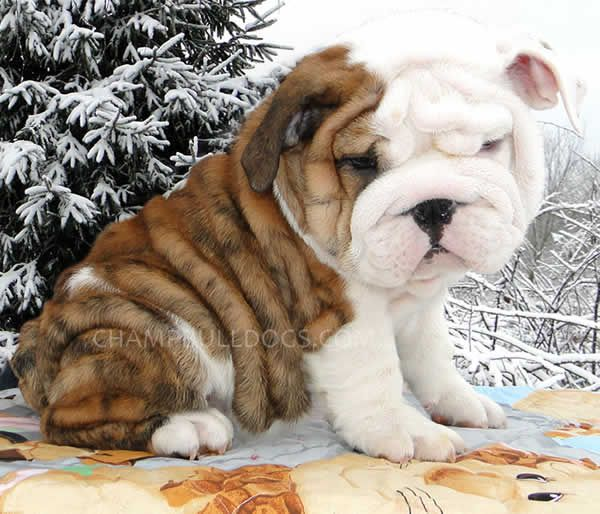 Bulldog Puppies Bulldog Puppies Cute Animals Cute Little Puppies