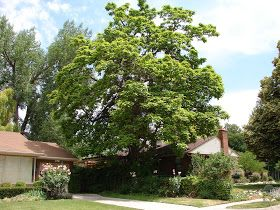 New Utah Gardener A Great Shade Tree For Utah Catalpa Speciosa Shade Trees Water Wise Plants Diy Outdoor Furniture Plans