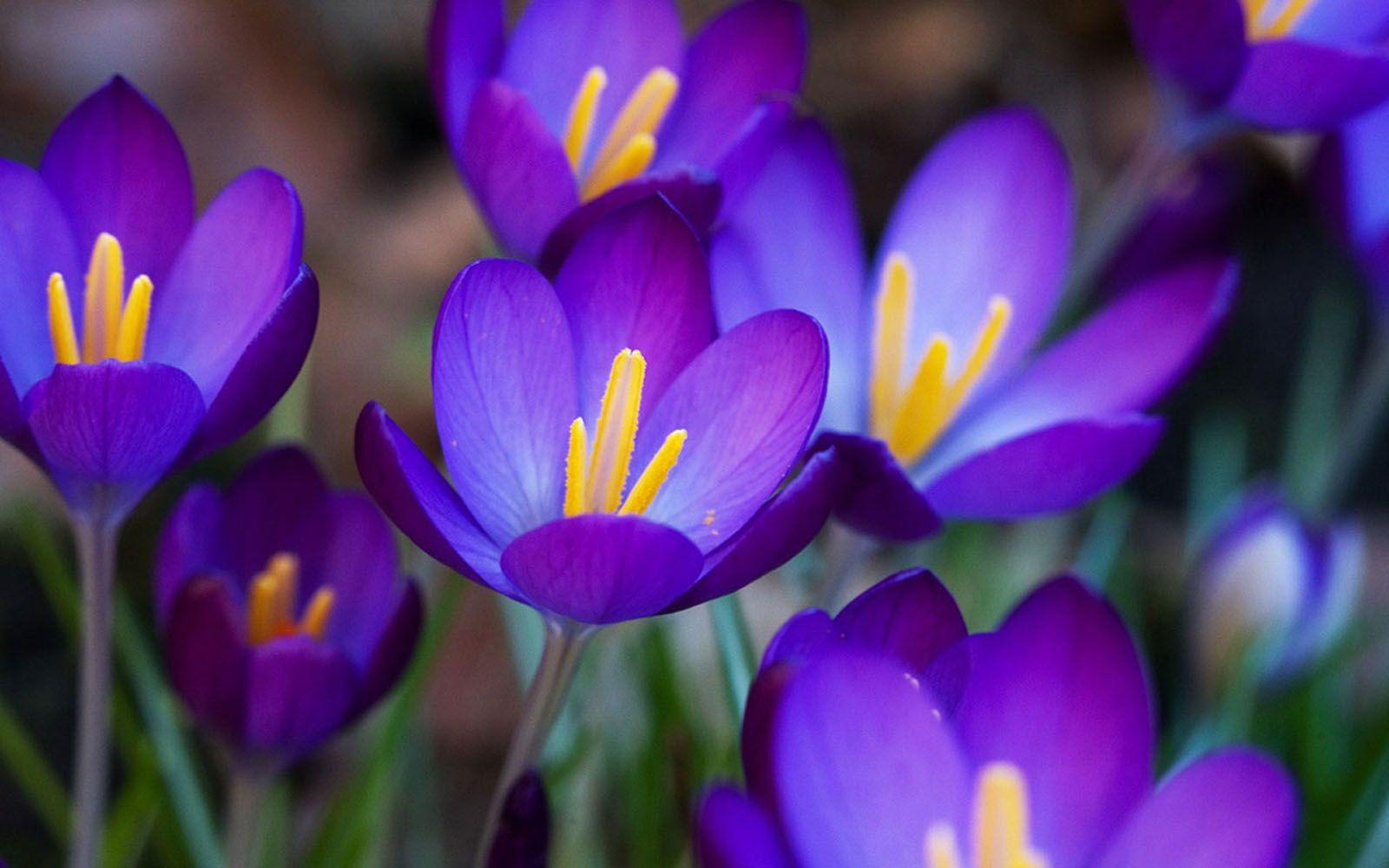 488f23ed1963 Purple Crocus Flowers
