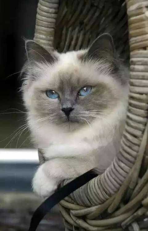 Siberian Cat Breeders In California Cat Breeder Siberian Kittens Siberian Cat Breeders