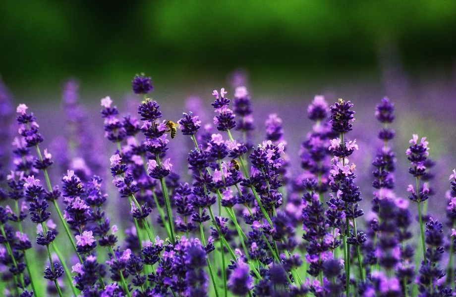 Lavender Flowers 4k Ultra Hd Wallpaper 4k Wallpaper Net Mit