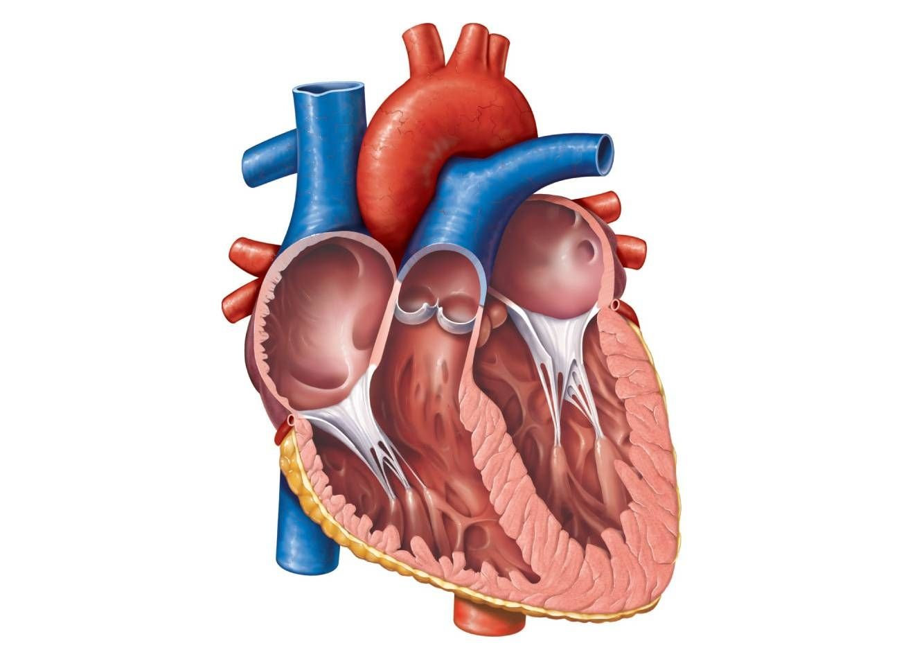 Anatomical Heart Diagram Anatomy Of The Heart Unlabeled