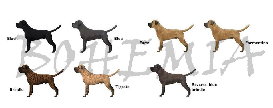 Https Www Google Com Search Tbm Isch Cane Corso Cane Corso Colors Cane Corso Puppies