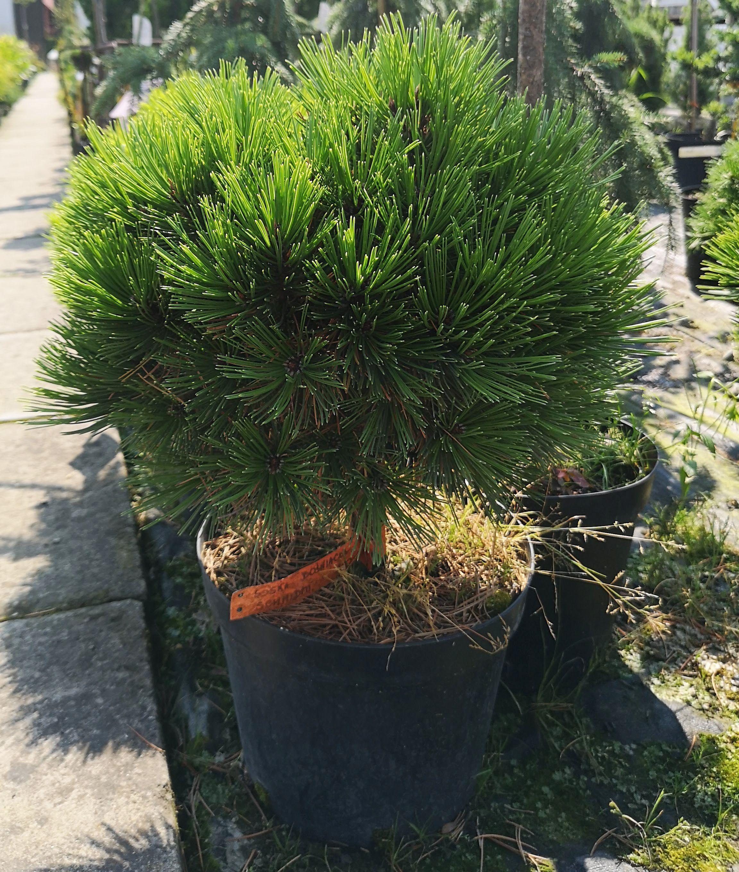 Uprawa Krzewow Iglastych Na Balkonie Lub Tarasie Plants