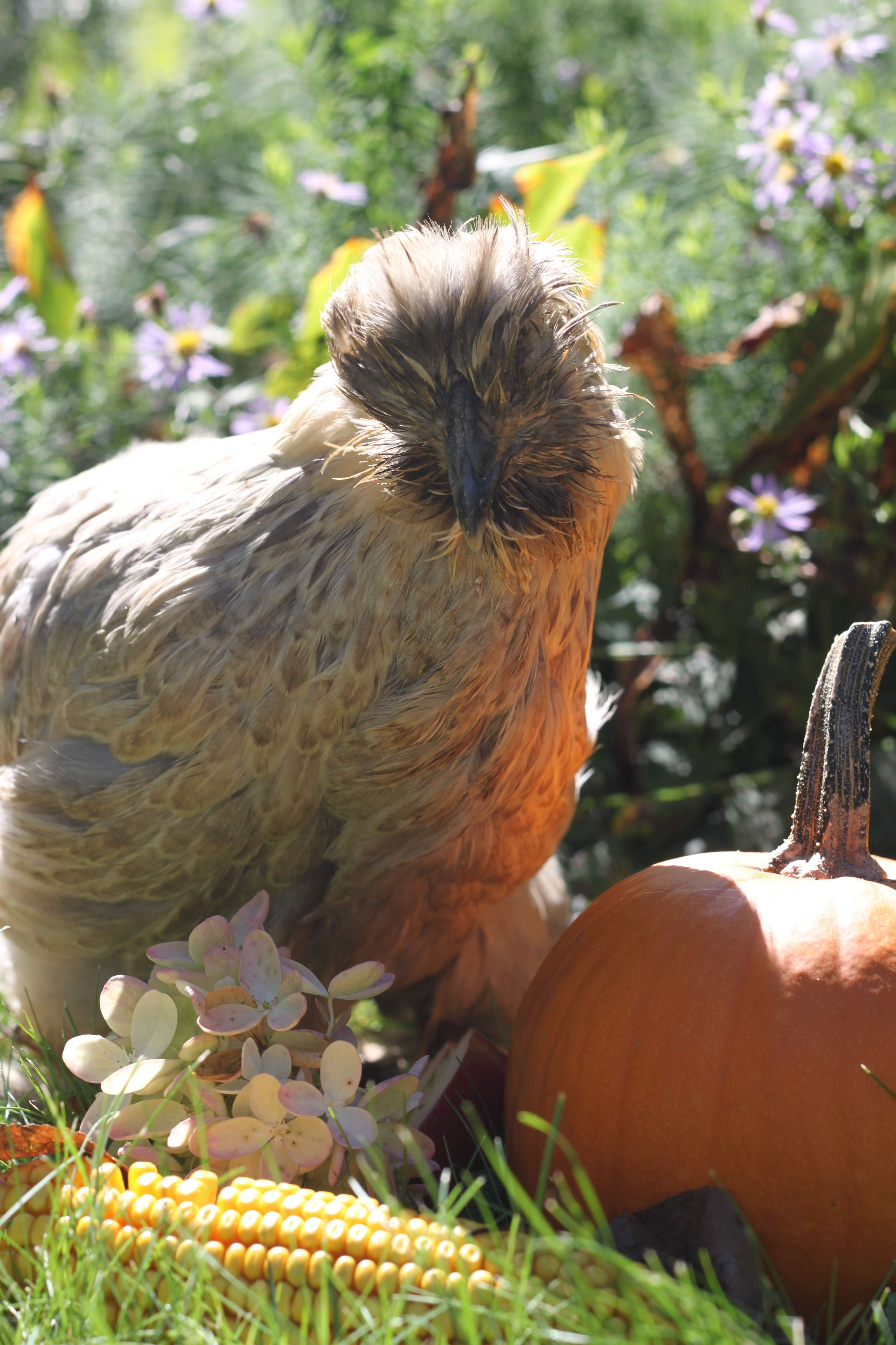 Bette Clucker enjoying the fall air!  You'd never know she was in bad shape only…