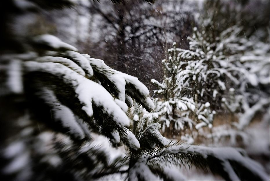 Snow-covered branches.
