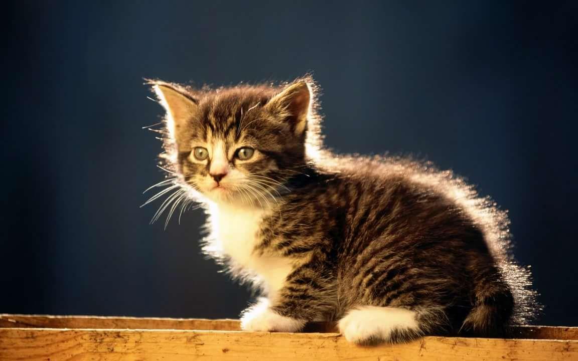 Обои пушистик, красота, кот. Кошки foto 15