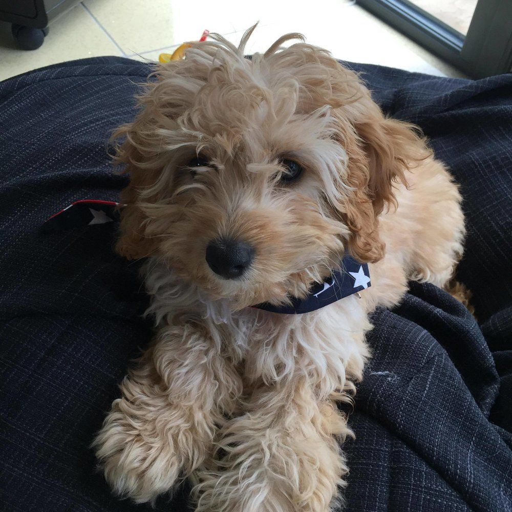 Cavapoos For Sale In The Uk Buy A Cavapoo Raffles Cockapoos Cavapoo Cavapoo Puppies For Sale Cavapoo Puppies