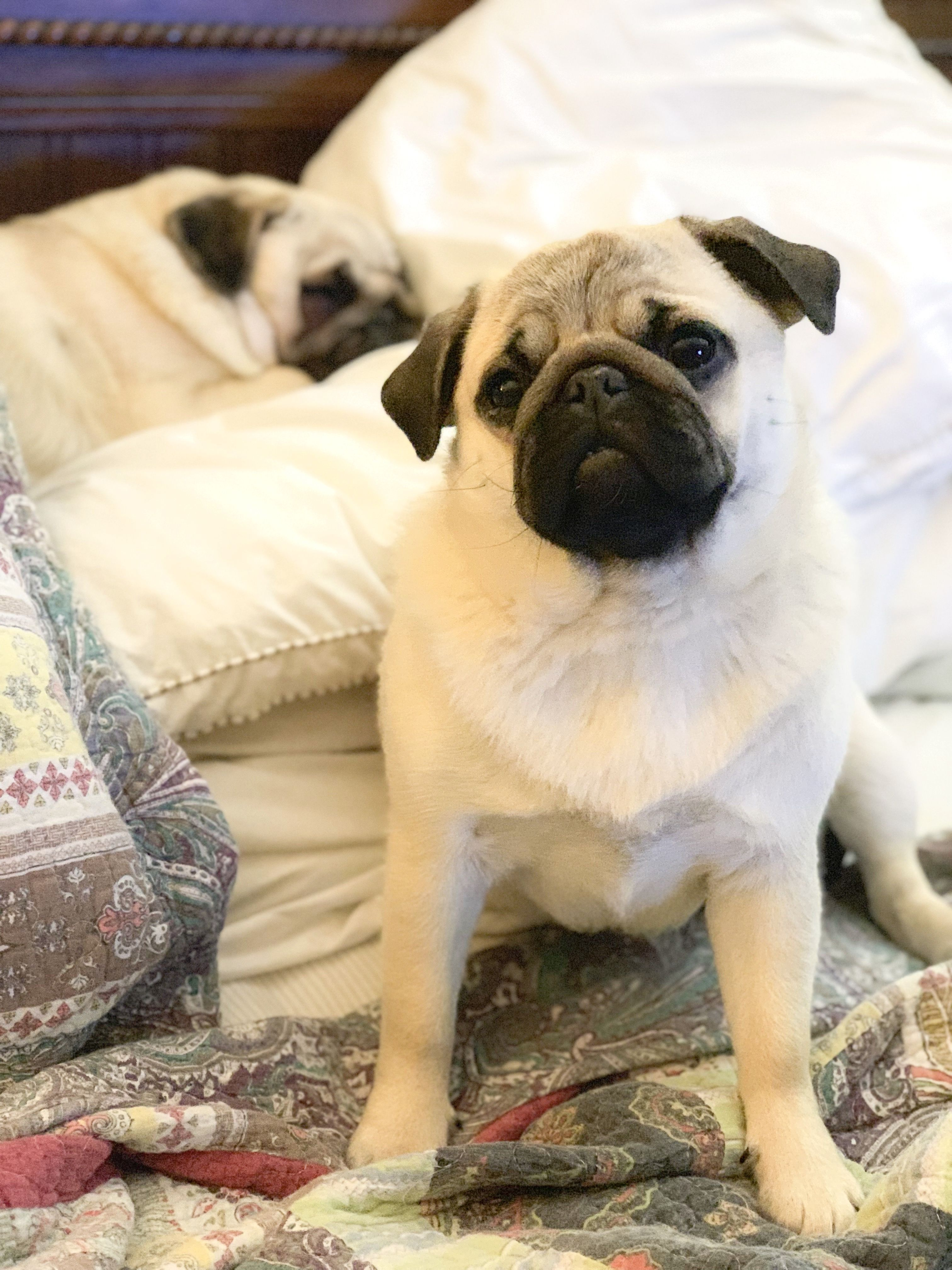 Pin By Nana Covington On Pugs Pugs And More Pugs Baby Dogs