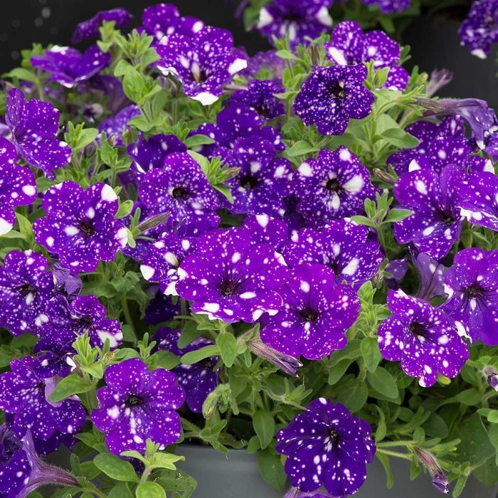 These Galaxy Flowers Hold Entire Universes On Their Petals Night Sky Petunia Petunias Petunia Plant
