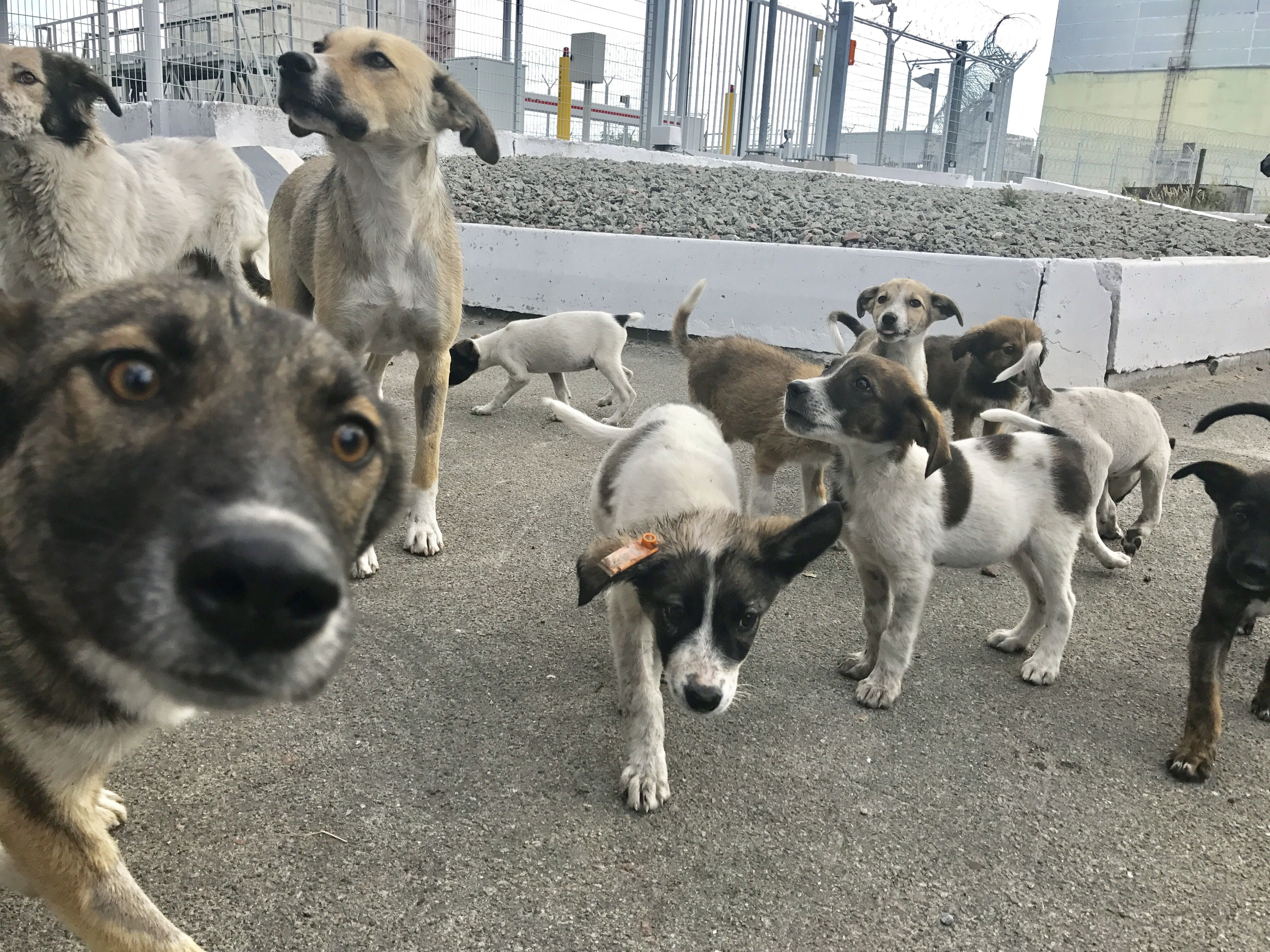 Saving The Dogs Of Chernobyl