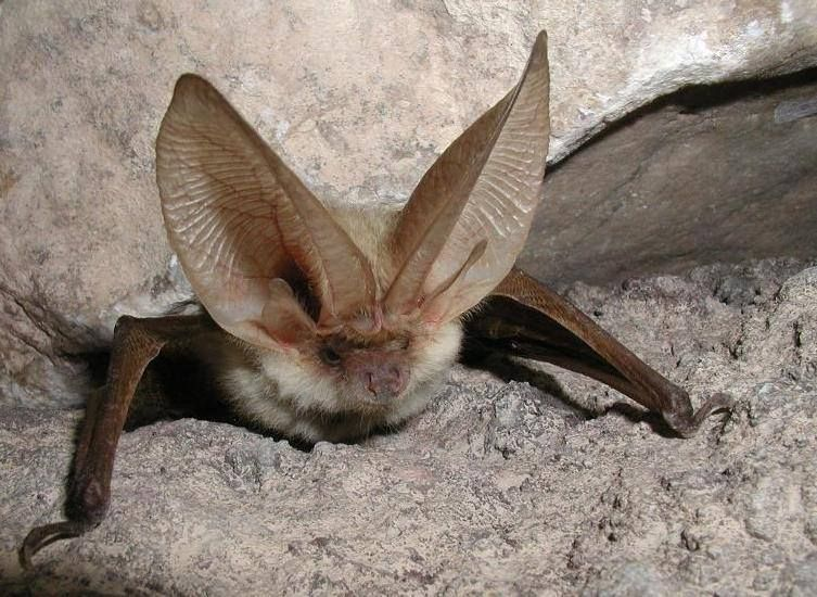 Are Bats New Canaries >> The Canary Big Eared Bat Plecotus Teneriffae Is A Species Of