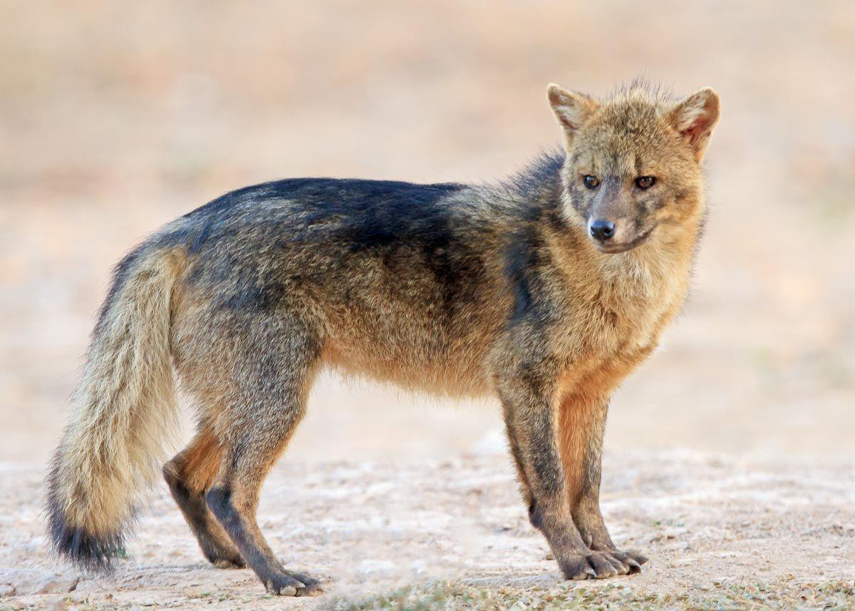 Goodbye 2011 Fox dog, Fox breeds