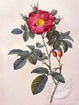 Pin By Rae Hulbert On Skin Botanical Drawings Botanical Illustration Botanical Illustration Vintage