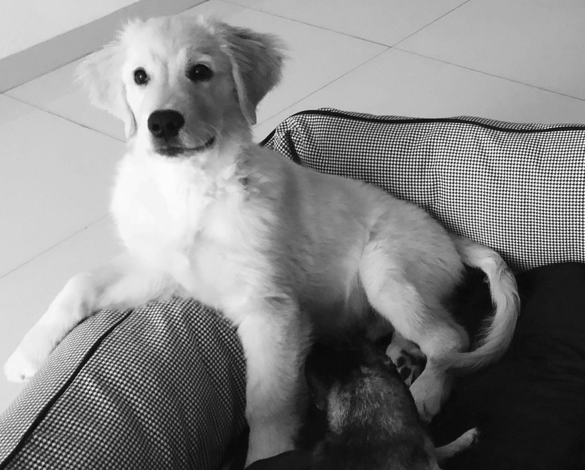 Samba Is An Adoptable Golden Retriever Dog In Greenville Sc