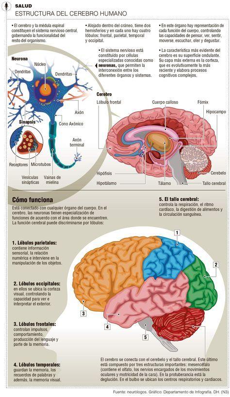 Estructura del cerebro y cómo funciona | Anatomía y Fisiología ...