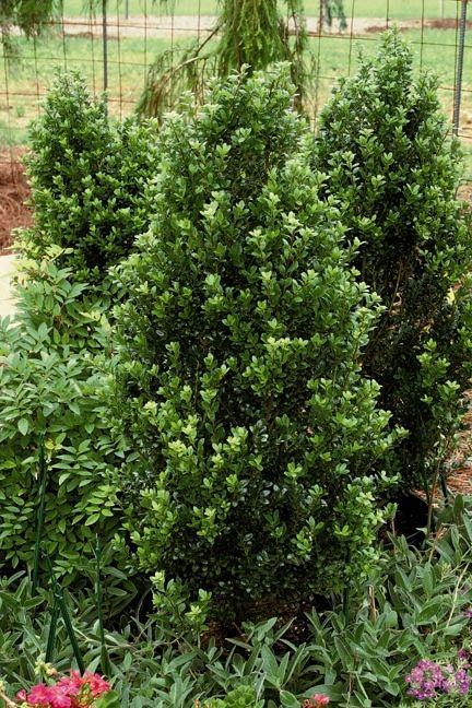 Steeds upright holly small white flowers early spring followed by small white flowers early spring followed by tiny dark purplish blue berries in late summer winter with a compact pyramidal form these vigorous shrubs mightylinksfo