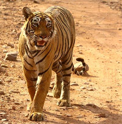 Tiger Wallpaper Hd Desktop Background Image Wild Animal Ranthambhore