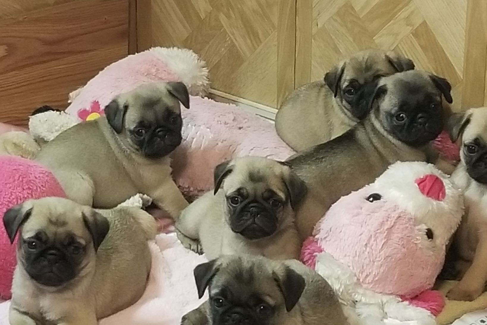 Rick Barrera Pugs Fawn Or Black Puppies Ready June 30th One Now Has Pug Puppies For Sale In Humble Tx On A Puppies For Sale Pug Puppies For Sale Pug Puppies