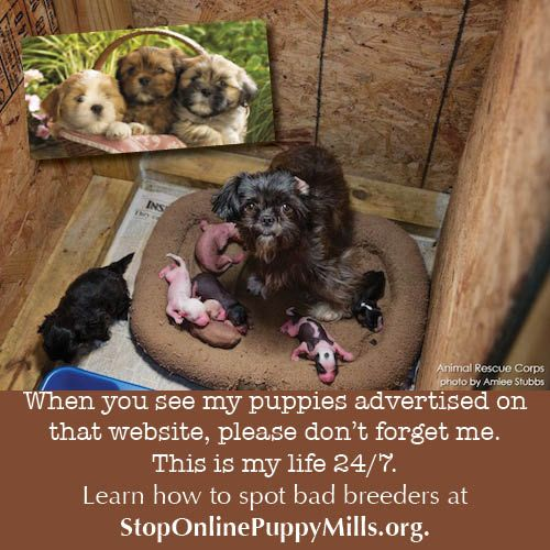 This Is Where That Pet Store Puppy Comes From Please Never Buy A Puppy Online Or From A Pet Store Puppies And Kitties Pet Store Puppies Puppies