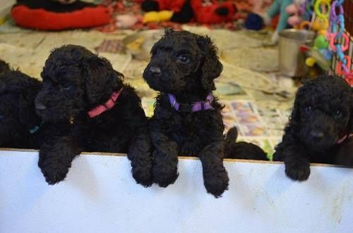 Chocolate Poodles Standard Poodle Puppies Black Chocolate