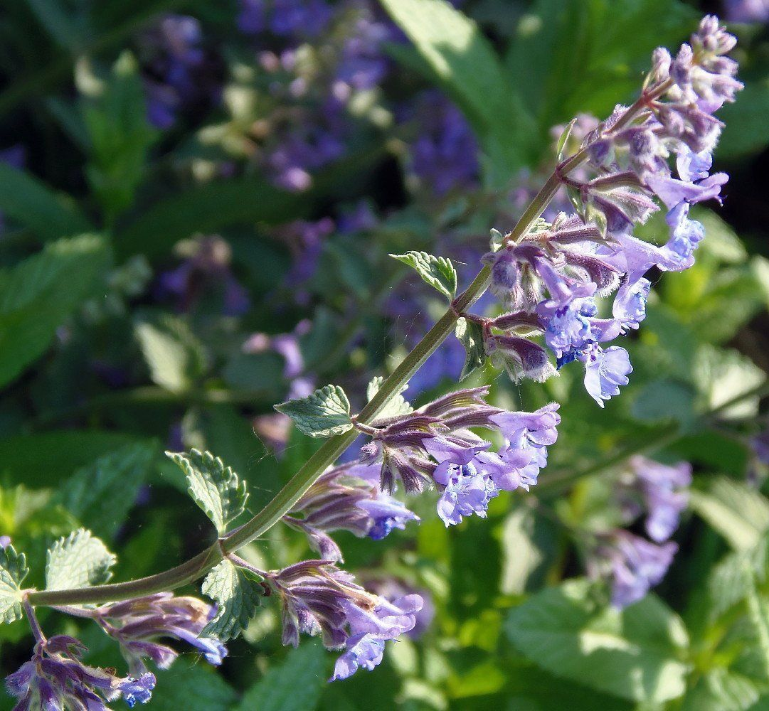 How To Grow Catnip Indoors Live With Liana Of Growing Catnip Catnip Catnip Plant