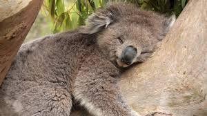 Resultado de imagen de koala durmiendo