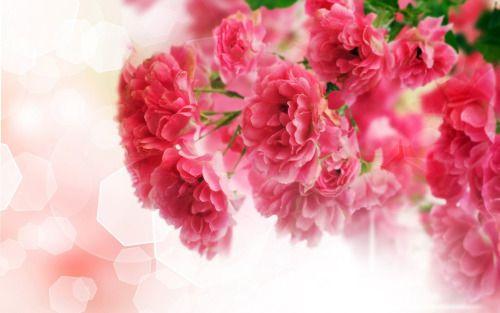 Luggelerunning Flower Wallpaper Carnation Flower Flowers