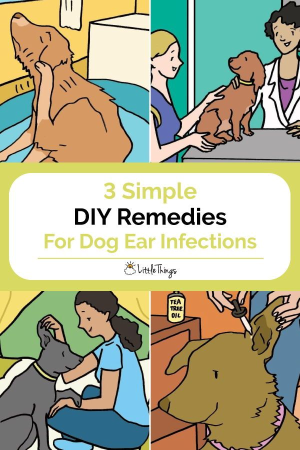 3 Simple Home Remedies For Dog Ear Infections: If you have a dog, chances are you'll deal with a dog ear infection at some point. Here are 3 simple DIY remedies to treat these infections. #naturalremedies #dogs #doggieearinfection #dogearmite