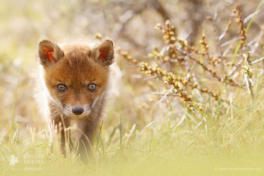 Cute Overload- Baby red fox kit by Roeselien Raimond - Photo 192958691 / 500px