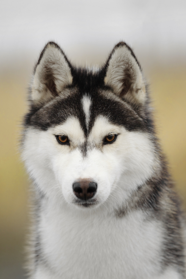 Siberian Husky Portrait Siberianhusky In 2020 Husky Siberian Husky Wolf Husky