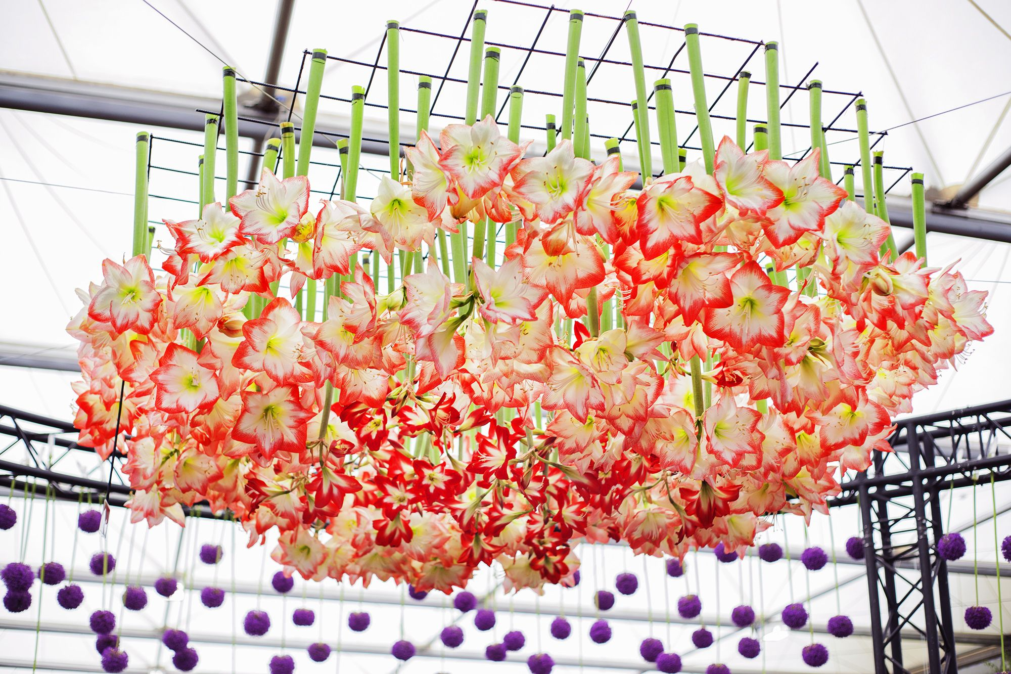 A hanging display of Amaryllis that amazed Monty & the team at RHS Chelsea Flower Show